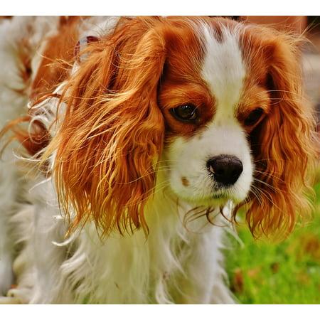 LAMINATED POSTER Funny Animal Dog Cavalier King Charles Spaniel Pet Poster Print 24 x 36 (Spaniel Dog Print)