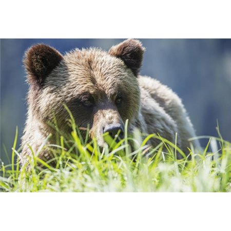 Grizzly Bear Poster Print - 38 x 24 in. - Large - image 1 de 1