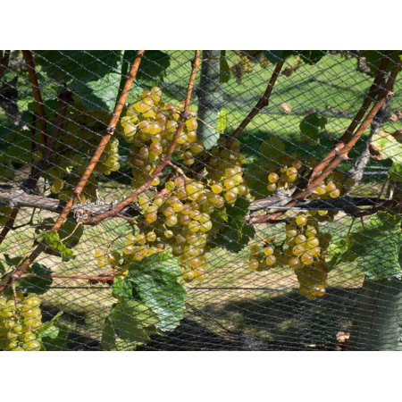 Chardonnay grapes on vine behind netting, Craggy Range Vineyards, Hawke's Bay, Hastings, North I... Print Wall - Monkey Bay Chardonnay