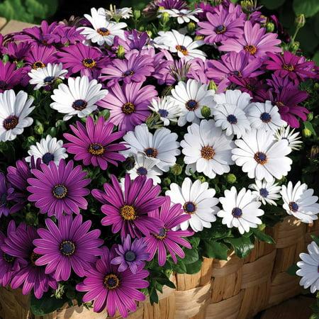 Osteospermum Flower Garden Seeds - Asti Series - Color Mix - 100 Seeds - Annual Flower Gardening Seed - Osteospermum ecklonis - African Daisy (Daisy Flower Seeds)