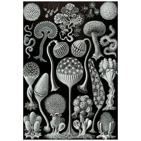 Nature Art Print Poster (Mycetozoa Nature Art Print Poster by Ernst Haeckel Poster -)