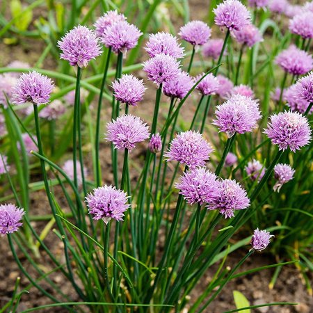 Chives Herb Garden Seeds - 2 Gram Packet - Non-GMO, Heirloom - Perennial Herbal Gardening & Microgreens - Allium schoenoprasum, Vegetable Garde .., By Mountain Valley Seed Company Ship from