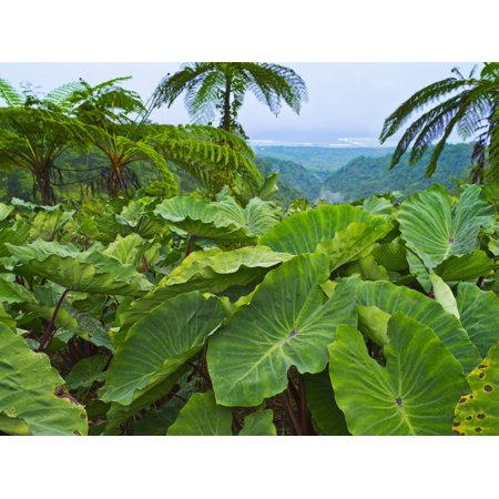 Overlooking taro leaves onto Samoas southeast coast Upolu Island Samoa PosterPrint