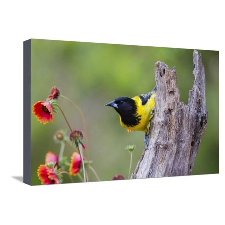 Santa Clara Ranch, Starr County, Texas. Audubons Oriole Perched Stretched Canvas Print Wall Art By Larry (Audubon Large Ranch)