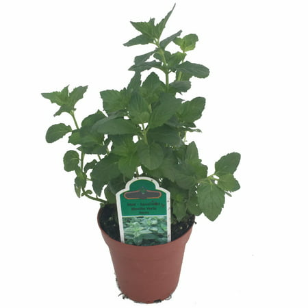 Fresh Spearmint Plant for Cosmopolitan - Grow Indoors/Out - 3