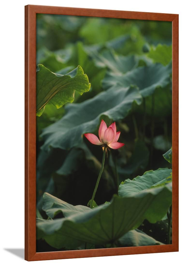 Lotus Flower Framed Print Wall Art By Dlillc Walmartcom