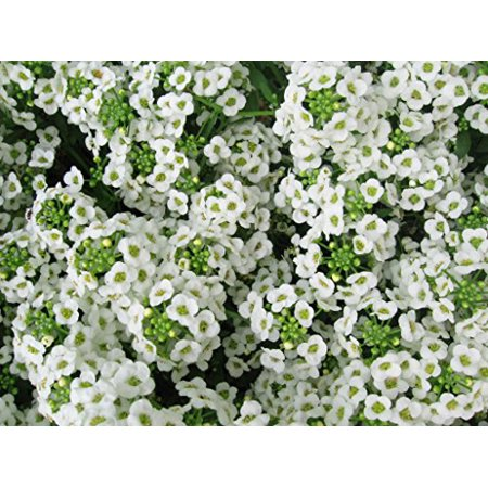 Alyssum Carpet of Snow Nice Garden Flower By Seed Kingdom 2,000 Seeds ()