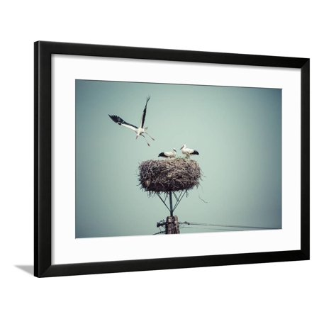 Stork With Baby (Stork with Baby Birds in the Nest, Poland. Framed Print Wall Art By)