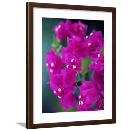 Bougainvillea Blooming, Island of Martinique, Lesser Antilles, French West Indies, Caribbean Framed Print Wall Art By Yadid