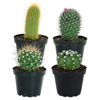 Delray Plants Live 4-pack 5 to10-inches Tall Assorted Cactus , Indoor House Plants, in Grower pot
