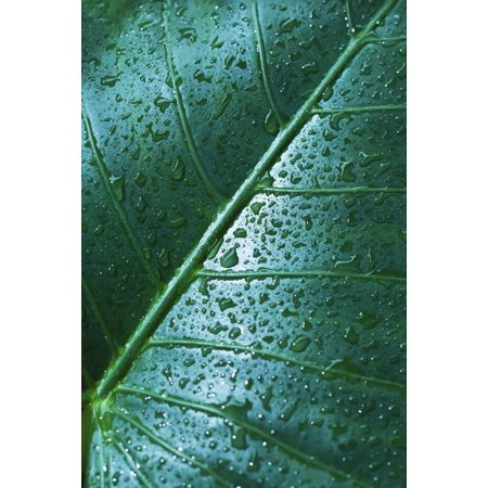 Water Drops On Elephant Ear Leaf PosterPrint (Drops To Get Water Out Of Ear)