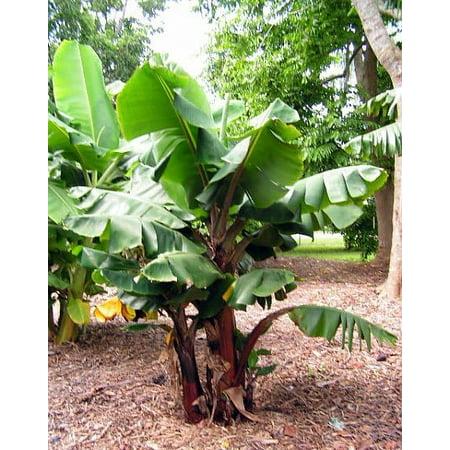 Dwarf Red Banana Plant Musa Great Fruit 4 Pot