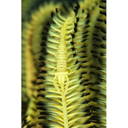 Yellow commensal shrimp on crinoid Canvas Art - Steve JonesStocktrek Images (12 x 18)
