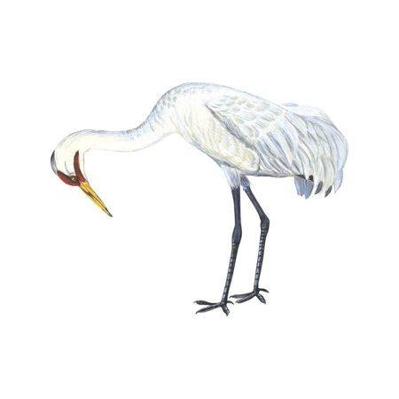 Whooping Crane (Grus Americana), Birds Print Wall Art By Encyclopaedia Britannica](Gru Symbol)