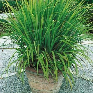 35 Seeds Mosquito Repelling Lemon Grass Plant (Best Indoor Plant Seeds)