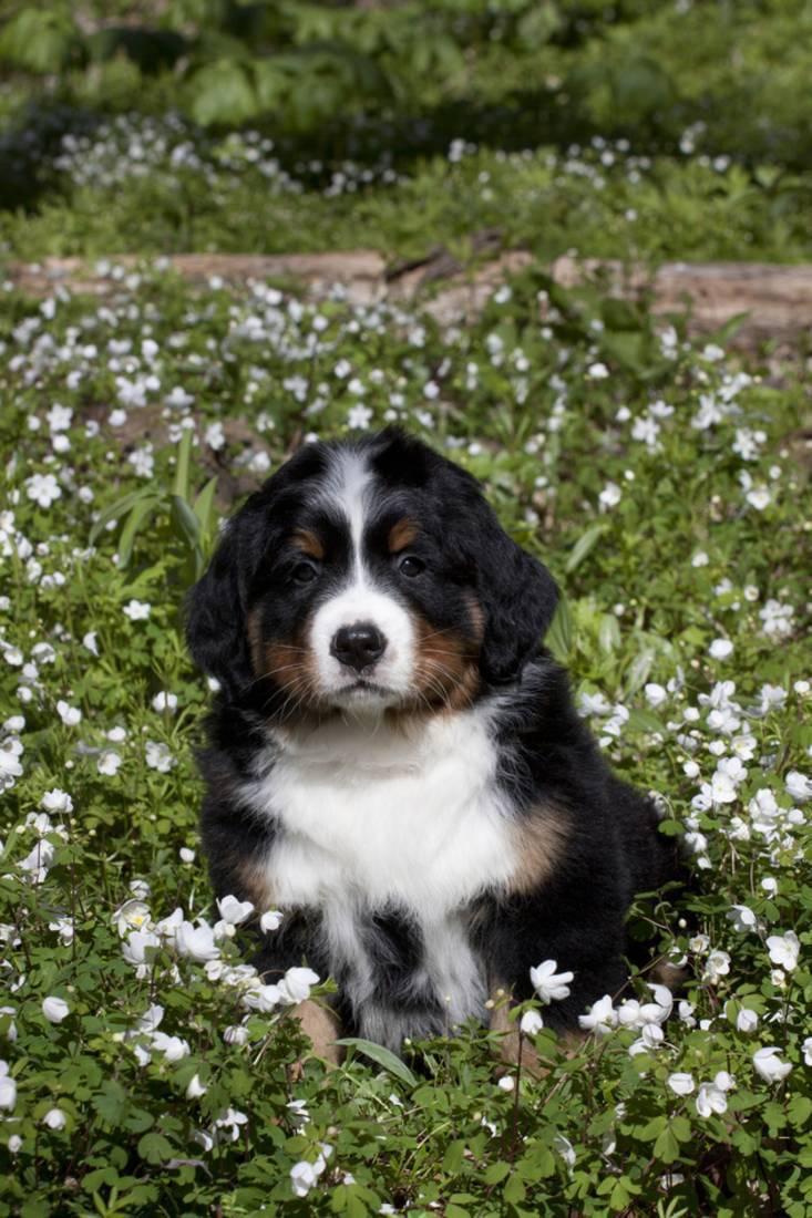 Bernese Mountain Dog Pup In Spring Wildflowers Anemone Elburn Illinois Usa Print Wall Art By Lynn M Stone