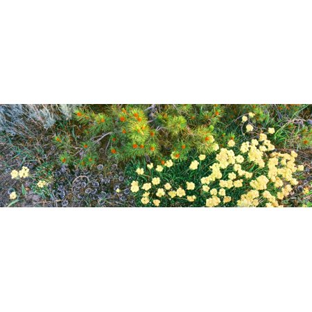 Lodgepole Cone (Lodgepole Pine bough with new cone formation overseas Sulphurflower Buckwheat in bloom Grand Teton National Park Wyoming USA Canvas Art - Panoramic Images (27 x)