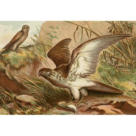 Posterazzi The Royal Natural History c1881 Sea Eagle & Kestrel Canvas Art - Unknown (24 x 36)