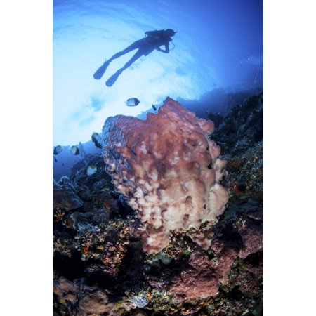 A large barrel sponge grows on a reef dropoff near Sulawesi Indonesia Stretched Canvas - Ethan DanielsStocktrek Images (23 x 34) Ash 34 Inch Medium Barrel