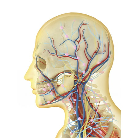 Human Face And Neck Area With Internal Throat Parts Nervous System