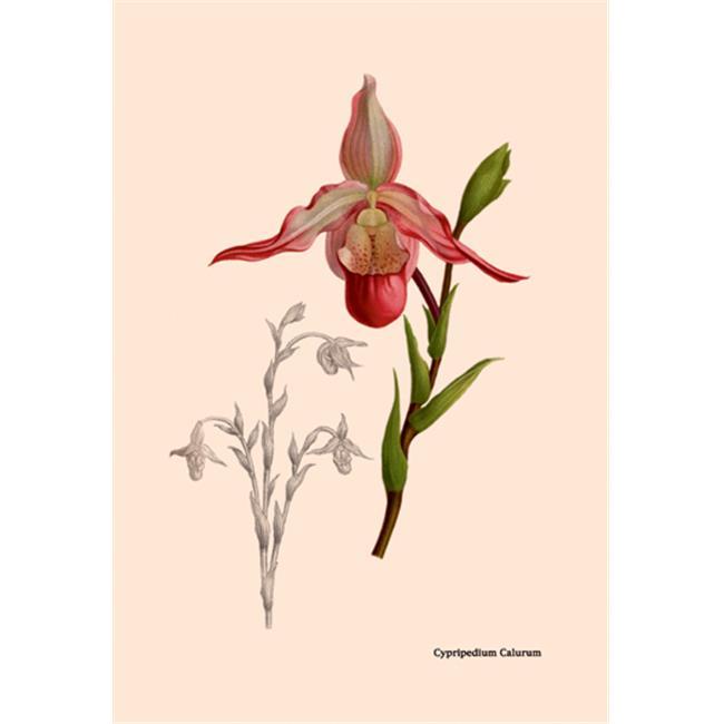 Buy Enlarge 0-587-07929-0P12x18 Orchid- Cypripedium Calurum- Paper Size P12x18