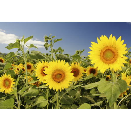 Hawaii Oahu North Shore Sunflower Field Canvas Art - Vince Cavataio  Design Pics (34 x (Best Of North Shore)