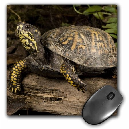 3dRose Eastern Box Turtle, Central Pennsylvania - US39 JMC0017 - Joe and Mary Ann McDonald, Mouse Pad, 8 by 8 inches