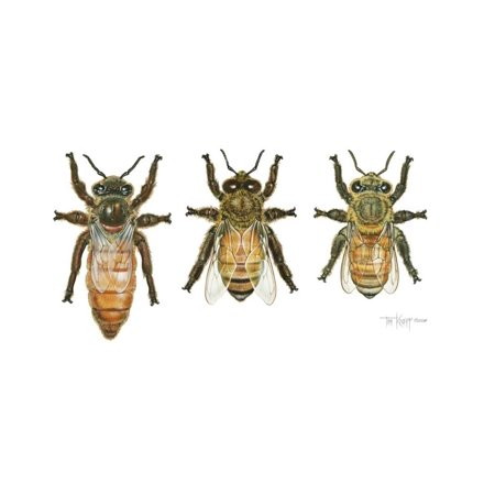 Worker, Drone, and Queen Honey Bees Print Wall Art By Tim Knepp