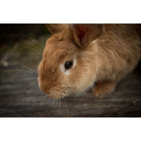 LAMINATED POSTER Whiskers Pet Rabbit Bunny Close-up Animal Cute Poster Print 24 x 36](Rabbit Whiskers)