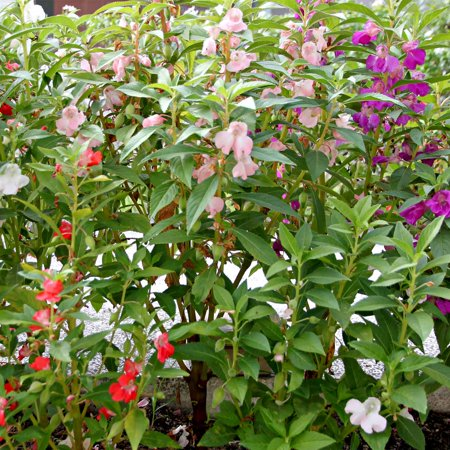 Balsam Flower Garden Seeds - Mixed Colors - 1 Oz: Approx 3,300 Seeds - Pink, Rose & White - Annual Blooms - Impatiens balsamina