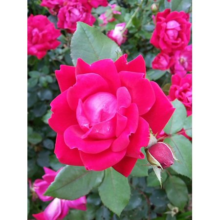 Peel n stick poster of love red roses flower roses single for Rose adesive