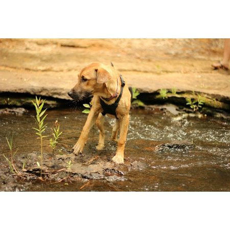 LAMINATED POSTER Pit Mix Puppy Rhodesian Ridgeback Water Dog Poster Print 11 x (Black Lab Pit Mix Puppies For Sale)