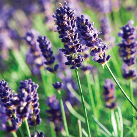 Munstead Lavender Herb - Perennial - Live Plant - 3