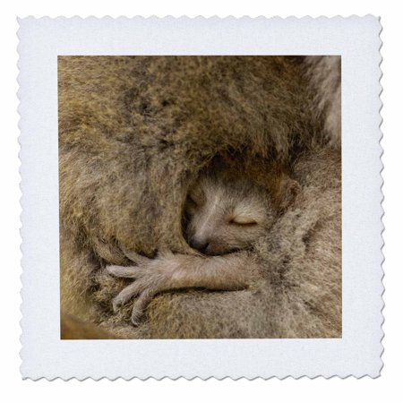 3dRose Crowned Lemur, Ankarana Special Reserve, MADAGASCAR-AF24 POX0422 - Pete Oxford - Quilt Square, 6 by 6-inch