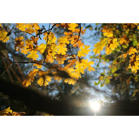Autumn Oasis (Framed Art for Your Wall Fall Leaves Foliage Oak Tree Color Yellow Autumn 10x13 Frame)