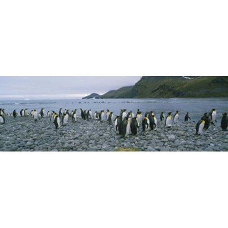 Colony of King penguins on the beach South Georgia Island Antarctica Canvas Art - Panoramic Images (18 x