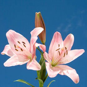GlobalRose 25 Fresh Cut Pink Oriental Lilies - Fresh Flowers Wholesale Express Delivery (Oriental Express Tampa)