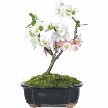 Japanese Flowering Quince Bonsai Tree