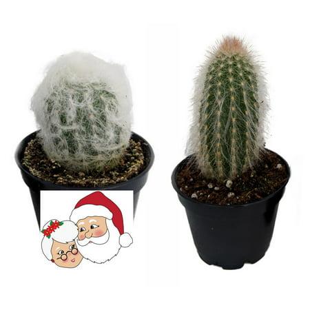 Mr. & Mrs. Claus Cactus Plants - Espostoa - 2 Pack - 2