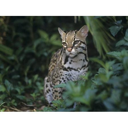 Ocelot, Felis Pardalis, a Threatened Species of Wild Cat, Southern Usa into South America Print Wall Art By Adam Jones ()