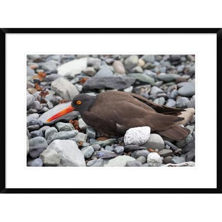 (Global Gallery 'Black Oyster Catcher Using Broken-Wing Display To Lure Intruders Away from the Nest, Icy Bay, Wrangell-St. Elias National Park, Alaska' Framed Photographic Print)