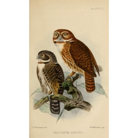 Ibis 1886 Andean Pygmy Owl Poster Print By  John G Keulemans