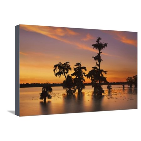 Bald Cypress Swamp (Taxodium Distichum) after Sunset Stretched Canvas Print Wall Art By Frank