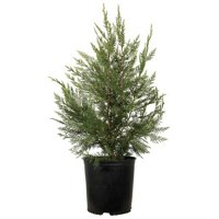 2.5 Qt - Leyland Cypress - Fast-Growing Evergreen Tree - Live Plants