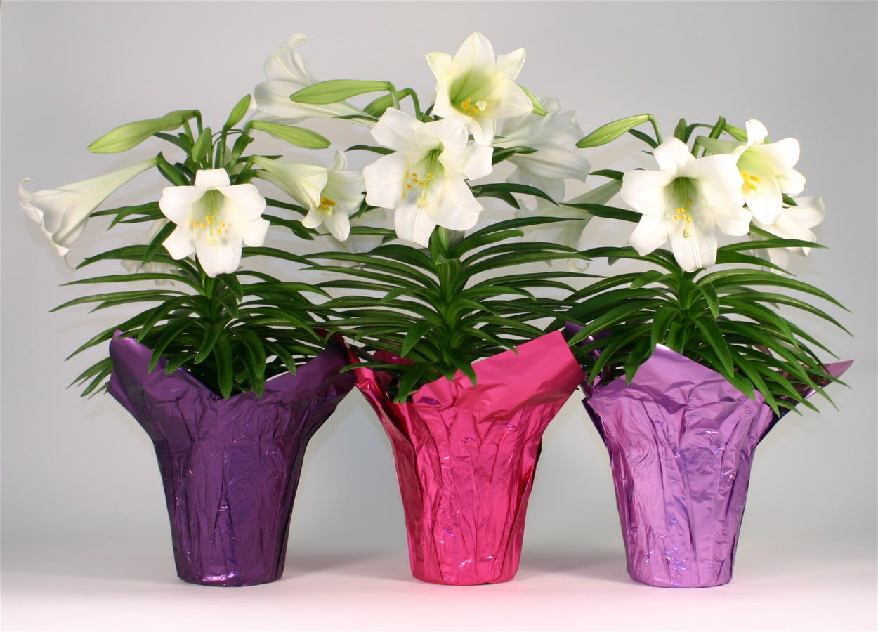 Easter Lily In 6 Pot Walmart