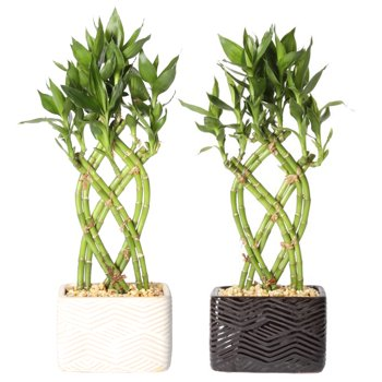 2-Pack Delray Live Small Lucky Bamboo Indoor House Plant