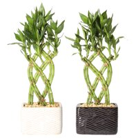 Deals on 2PK Delray Plants Live Small Lucky Bamboo Indoor House Plant