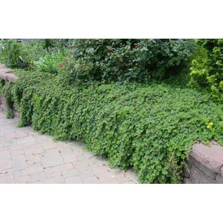 Classy Groundcovers - Creeping Raspberry Creeping Bramble, Creeping Rubus, Crinkle-leaf Creeper {25 Pots - 3 1/2 in.}