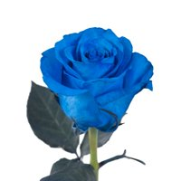 "Natural Fresh Flowers - Tinted Blue Roses, 20"", 75 Stems"