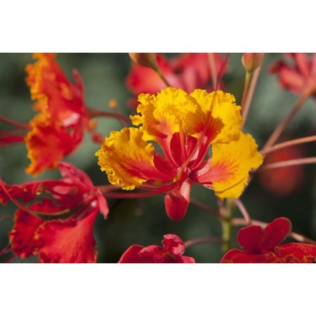 Close up of mexican bird of paradise caesalpinia pulcherrima close up of mexican bird of paradise caesalpinia pulcherrima flowers palm springs california united mightylinksfo